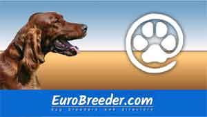 Find  Irish Red Setter breeders - Eurobreeder.com