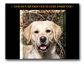 Golden Retriever Maybe Forever