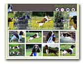 Springfield's English Springer Spaniels