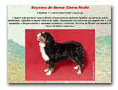 Bernese Mountain Dogs of the Sierra Norte