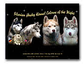 Colours of the Night Siberian Husky