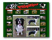 Border Collie Pitipitipa
